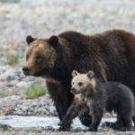 美國大蒂頓國家公園 明星小熊白雪遭車撞死