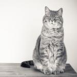 家中喵星人7歲以後,請飼主多注意這6種症狀,高齡貓容易患有8種疾病