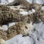 南半球之冬》強烈寒流侵襲秘魯 羊駝成群死亡 重創原住民生計