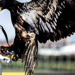 荷蘭警方制空出新招 訓練老鷹「逮捕」非法無人機