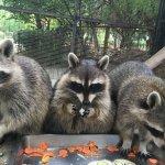 慶中秋 新竹動物園特製「月餅」紅毛猩猩、浣熊歡喜享用