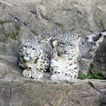 珍稀動物「雪豹」生機重現 也為阿富汗小鎮帶來發展希望
