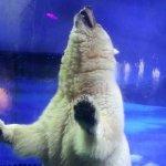 養出「世上最悲傷北極熊」還不夠 廣州商場要引進大貓熊、白老虎