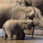 象滿為患?利慾薰心?非洲多國提議解禁象牙交易
