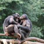 為何男人撞見「小王」總是怒火中燒?動物學家觀察黑猩猩,揭開嫉妒的真相