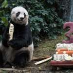 全球最長壽的圈養大貓熊香港病逝 得年38歲