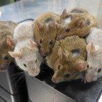 日本創世界首例:以老鼠幹細胞體外培育卵子 生出8隻鼠寶寶 下一步:人類卵子