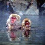 世界唯一一個可以和野生猴子泡湯的溫泉!享受日式露天風呂要注意的是…
