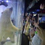 救救「最悲傷北極熊」!中國百萬人聯署要求讓「比薩」搬家