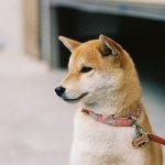 天然呆萌的日本國寶!這種狗不只和貓處得好,也和貓咪一樣愛乾淨