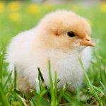 你知道美味雞肉是怎麼來的嗎?剛出生的小雞,用這支影片告訴你最殘酷真相…