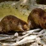 生態危機:阿根廷火地島擬捕殺10萬水獺