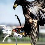 鷹機大戰! 法國軍方訓練老鷹攔截無人機