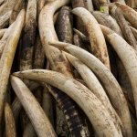每15分就有1頭大象遭獵殺 綠委籲禁絕國內象牙交易