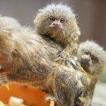迷你猴一家遇劫獲救 兩男子謀財束手就擒