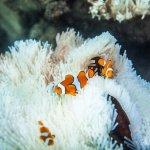 「這些珊瑚礁根本就是被煮了!」科學家呼籲:澳洲大堡礁在集體迅速死亡中