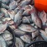 杜宇觀點:誰在乎台灣鯛價格崩盤?