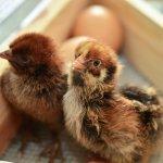 出生到屠宰只要35天,雞肉真的沒生長激素?台大教授犀利戰爆長輩錯誤迷思