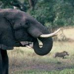 為什麼越來越多非洲象「天生沒象牙」?人類物慾與大量屠殺的悲慘「天擇」