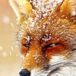 漫話英倫:聖誕與狐狸