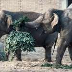 耶誕節過完了,耶誕樹怎麼辦?都變成這種動物的點心了!