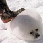 活剝後毛當皮草、陽具做壯陽藥…出生12天小海豹鮮血覆冰原,真實記錄震撼世界