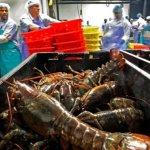 中國需求驟升 美國龍蝦大漲價