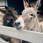 中國阿膠需求大 南非驢皮非法交易猛增