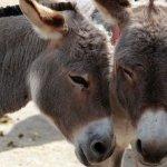 中國阿膠需求大  南非驢皮非法交易暴增