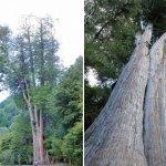 溪頭神木倒了,還有哪裡能看老樹?這棵台中市最高大的樹,記錄1400年來的歲月