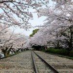 漫天飛舞 「櫻吹雪」超難忘!內行人嚴選京都5大賞櫻名所,現在規劃正是時候