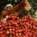 印度北部兒童爆發死亡怪症   竟是因「空腹吃荔枝」