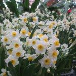 蝴蝶蘭、水仙、長壽花……元宵賞花正當時 士林官邸春節花卉展到2月底