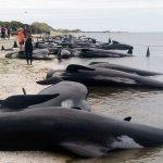 無懼鯊魚攻擊威脅 紐西蘭民眾用海上人牆搶救擱淺鯨