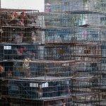 台南火雞場確診H5N6禽流感 中央災害應變中心啟動