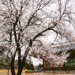 別說韓國景色輸日本!旅遊作家真情推薦首爾4景點,這地方櫻花綻放真的超美啊