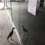照鏡子8小時!澳大利亞「自戀鳥」成網紅