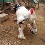 我的老天鵝!這是公雞布偶裝吧?科索沃巨雞影片網路熱議