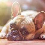 想養狗,就去買一隻可愛的品種狗?動物行為治療師戴更基:這樣對狗其實很殘忍