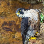 呂紹煒專欄:基隆鳥會公布遊隼巢位,是台灣生態保育的倒退!