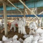 台北家禽市場5批家禽,確診H5陽性禽流感