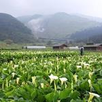 春暖花開》平地有杜鵑 山上有海芋 竹子湖白色花海泛濫中!
