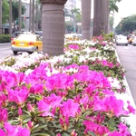 花兒睡醒了?暖冬效應 北市杜鵑花4月全面盛開