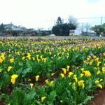 桃園彩色海芋季結束 花卉仍盛開至4月底