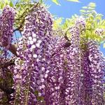 日本春天不只賞櫻!東京及近郊7個賞「紫藤花」的好去處,徜徉在紫色花海浪漫中
