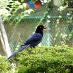 民眾遭台灣藍鵲飛撲 竟以BB槍回擊 動保處:可罰6至30萬罰金
