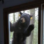 是誰吃不到布朗尼蛋糕就生氣?美國康乃狄克州的一頭饞嘴黑熊