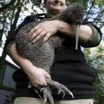 首都怎麼可以沒有「國鳥」!紐西蘭大規模復育計畫 國寶「奇異鳥」將重返威靈頓