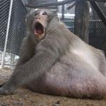 肥到當街被捕!泰國26公斤超胖獼猴遭扭送減肥營