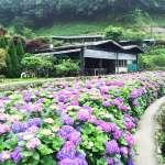 漫山遍野都是夢幻繡球花!盤點全台8大賞花勝地,除了陽明山還有很多好地方啊